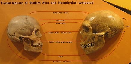 3 - homo-sapiens-homo-neanderthalensis-schadelvergleich
