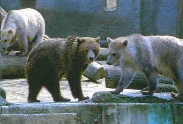 Braunbärin Susi (Mitte) mit ihren einjährigen Sprößlingen Tips (links) und Taps (rechts) im Mai 2005 im Zoo von Osnabrück. Vater Elvis war ein Eisbär.