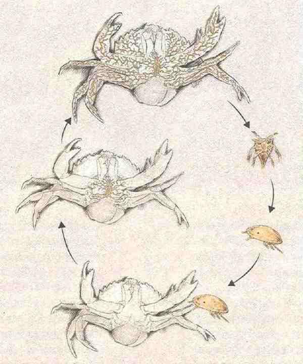 Sacculina-Larven spritzen einen Zellhaufen ins Bein von Krabben. Daraus reift der Parasit, ein rankenähnliches Geflecht, das sich durch den Krabbenleib zieht. Sacculina kontrolliert das Verhalten seines Wirtes und zwingt ihn etwa dazu, die Parasiten-Eier zu pflegen, aus denen neue Larven entstehen.
