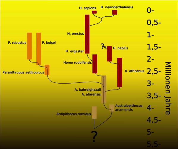 Stammbaumhypothese der Entwicklung des Menschen, Stand 2003