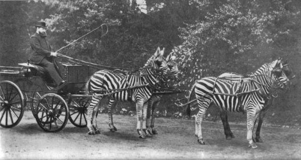 Lord Lionel Walter Rothschild mit seiner Zebrakutsche, mit der er häufig durch London fuhr.