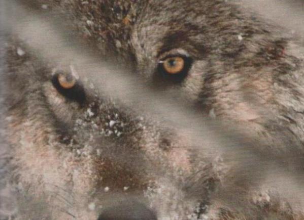 WOLFSBLUT: Wer das Wesen des Haustiers Hund verstehen will, muss sich zuerst mit seinen wilden Verwandten befassen. Wölfe, lange gnadenlos gejagt, durchstreifen seit einiger Zeit wieder den Yellowstone Park in den USA.