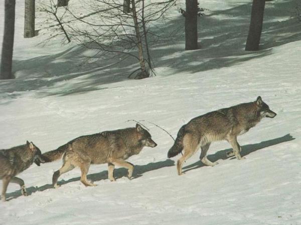 Wolfsrudel im Schnee: In einer langen Reihe macht sich ein Rudel auf, um Beute zu machen. Der Beutezug kann bis zu 1000 km² abdecken, wobei Wölfe gemeinsam sogar große und seltene Beute wie Riesenelche jagen.